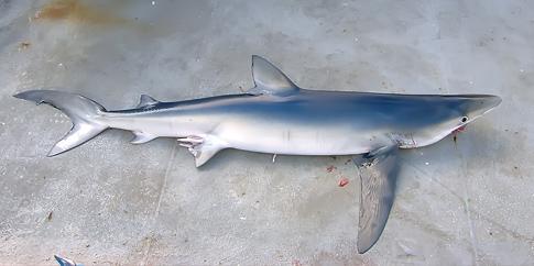 Paradojas sobre la conservación de los tiburones