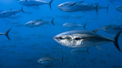 Ifremer marca atún rojo en el Mediterráneo para mejorar su información