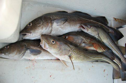 La Comisión Europea prohíbe pesca de bacalao en la mayor parte del Báltico oriental
