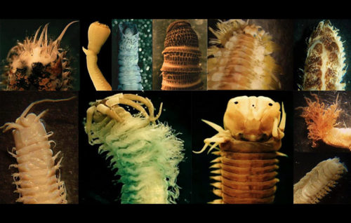 Los gusanos marinos también  son fuente de ácidos grasos omega 3